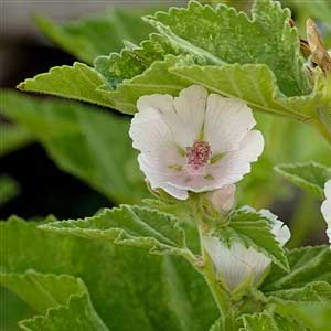 Althaea-officinalis.jpg