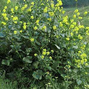 Brassica-nigra.jpg